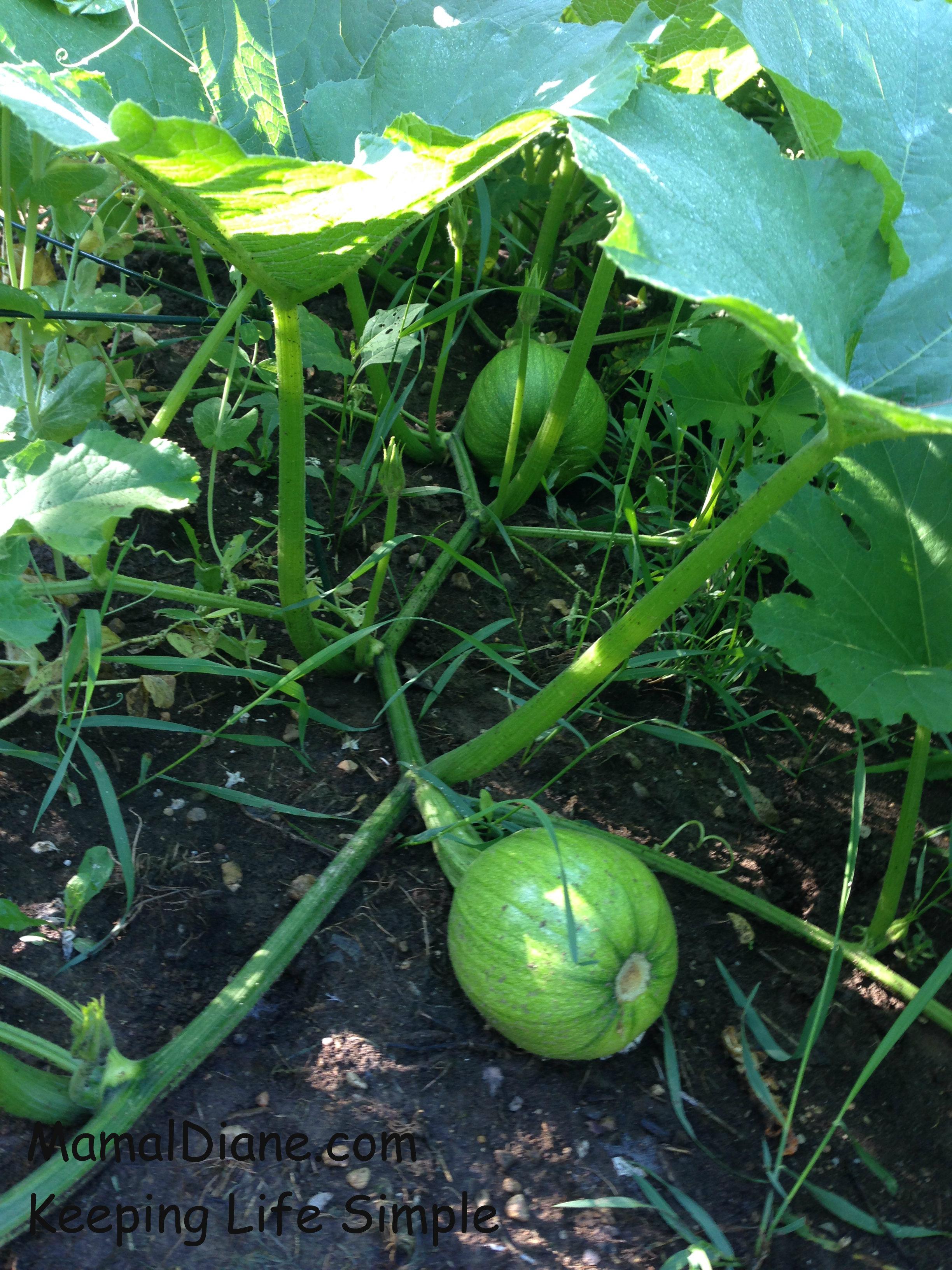 backyard gardening cooking pumpkins u2013 mamal diane