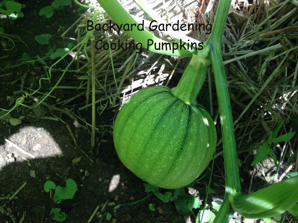 Backyard Gardening Cooking Pumpkins 5